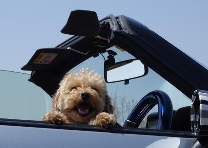 犬の車酔いは克服できるか 愛犬ぐらし